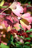 Macro photo. Red autumn berries and pink purple leaves. Green leaves perfectly accentuate the autumn forest landscape Stock Images