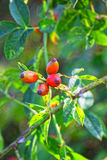 Macro photo. Red autumn berries. Macro photo. Red autumn berries of wild rose surrounded by green foliage. Blurred the background only emphasizes their beauty Stock Photography