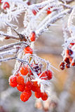 Macro photo. Red berries covered with hoarfrost. Macro photo. Winter, branches, leaves and red berries covered with frost and snow Stock Photos