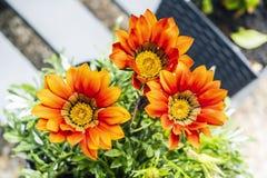 Red Gazania flowers, gardening theme. Macro photo of red Gazania flowers. Seasonal natural scene. Gardening theme stock photography