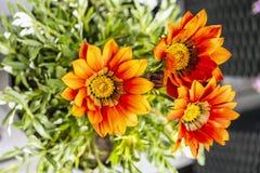 Red Gazania flowers, gardening theme. Macro photo of red Gazania flowers. Seasonal natural scene. Gardening theme stock image