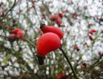 Macro photo with red large fruits lianovidny varieties of wild Rose in the blurry background of heavenly perspectives and fruits f Royalty Free Stock Photography