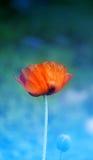Macro photo of red poppy Stock Images