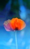 Macro photo of red poppy Royalty Free Stock Photos