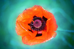 Macro photo of red poppy Stock Photo