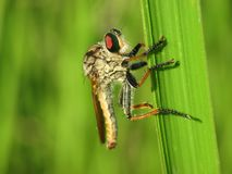 Macro photo of red robber fly. Macro photo of a robber fly on a green weed Royalty Free Stock Image