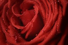 Macro photo of red rose with water drops Royalty Free Stock Photo