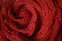 Macro photo of red rose with water drops Royalty Free Stock Photos
