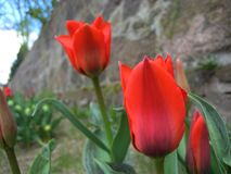Macro photo of red Tulips on stone wall background Stock Photography