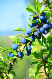 Macro photo. Ripe wild blue berries. Macro photo. Ripe wild blue berries on a background of green foliage. and the blue sky. Blurred the background only Royalty Free Stock Images