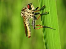 Robber fly holding tight on the weed. Macro photo of a robber fly hand on green weed Royalty Free Stock Photo