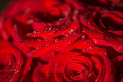 Macro photo of a rose with water droplets. Spring theme Stock Images