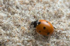 Seven spot ladybug, Coccinella septempunctata on sand. Macro photo of a seven spot ladybug, Coccinella septempunctata on sand. This beetle belongs to the Stock Images