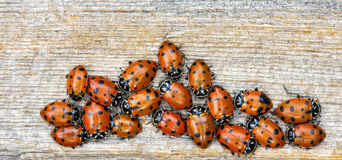 Macro photo of several ladybugs Coccinellidae Stock Photography