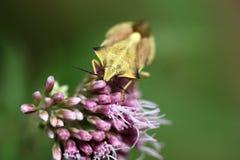 Macro photo of a shield bug Stock Photography