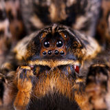 Macro photo shot of tarantula Royalty Free Stock Images