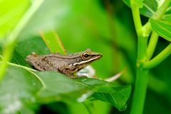 Macro photo of  small frog relaxing. In the bush Stock Photography