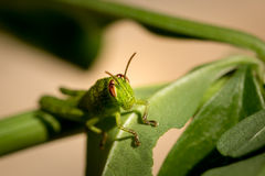 Macro photo of small green grasshopper on a leaf Royalty Free Stock Image