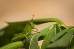 Macro photo of small green grasshopper on a leaf Stock Photo