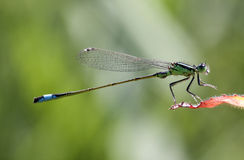 Macro photo of a small green insect Royalty Free Stock Photography