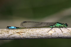 Macro photo of a small green resting insect Stock Photography