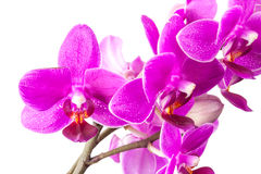 Macro photo of small pink orchid flowers isolated Stock Photo
