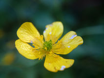 Macro photo small yellow flower. Blur green background Royalty Free Stock Images