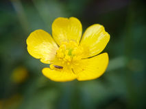 Macro photo small yellow flower. With small insect Stock Photos