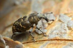 Snout beetle, Hylobius abietis, macro photo stock image