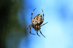 Macro photo of a spider close-up. A spider weaves a spider web. Araneus close-up sits on a cobweb. A photo of a Araneus diadematus stock photo