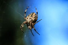 Macro photo of a spider close-up. A spider weaves a spider web. Araneus close-up sits on a cobweb. A photo of a Araneus diadematus. In glitter. A forest Cross Stock Image