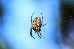 Macro photo of a spider close-up. A spider weaves a spider web. Araneus close-up sits on a cobweb. A photo of a Araneus diadematus. In glitter. A forest Cross Stock Photo