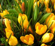 Macro photo of spring flowers yellow Crócus for gardening and landscape design royalty free stock photo