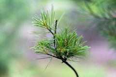 Macro photo of spruce branch in soft focus royalty free stock photo