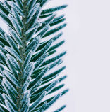 Macro photo of spruce branches covered with ice crystals close-up, Stock Photography
