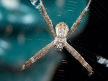 Macro Photo of St Andrew& x27;s Cross Spider on Web Isolated on Background stock photos