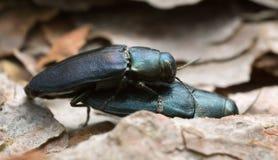 Steelblue jewel beetles, Phaenops cyanea mating on pine bark. Macro photo of steelblue jewel beetles, Phaenops cyanea mating on pine bark Stock Image