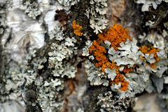Macro photo of the structure of birch and moss in black gray orange royalty free stock image
