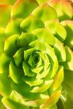 Macro photo of succulent Aeonium arboretum, California royalty free stock image