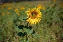 Flor girasol sunflower. Macro photo of sunflowers with difunimate background Stock Photos