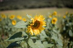 Flor girasol sunflower. Macro photo of sunflowers with difunimate background Stock Photography