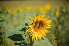 Flor girasol sunflower. Macro photo of sunflowers with difunimate background Royalty Free Stock Photos