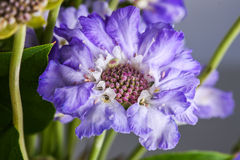 Macro photo of tender purple flower.  Stock Photography