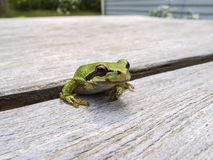 Pacific tree frog Pseudacris regilla. Macro photo of a tree frog visiting on my picnic table Stock Images