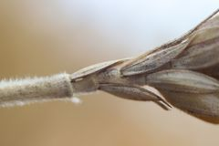 Macro photo of triticale. Photo taken with the old Mir-1B lens and extension tube royalty free stock image