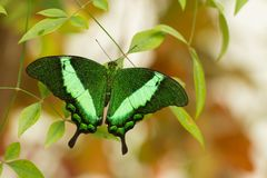 Tropical butterfly sitting in greenhouse, Czech Republic royalty free stock photos