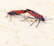 Macro photo of two fire bugs while mating Stock Photos