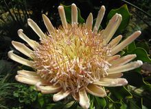 Macro photo of a unique flower in the nature - king Proteas Protea cynaroides, the national symbol of South Africa. With fleshy leaves vanilla-white shades as royalty free stock images