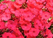 Macro photo with vivid decorative texture background flowers Phlox Stock Image