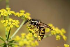Macro photo of a wasp Stock Photography